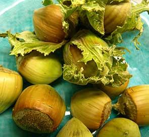 Färska hasselnötter